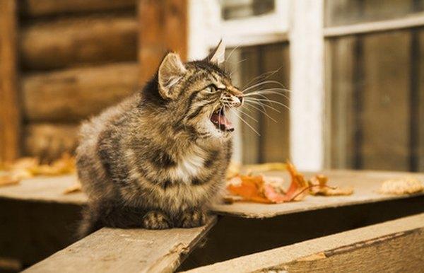free kittens springfield mo