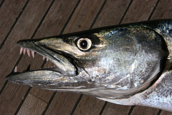 The barracuda is a fearsome looking creature.