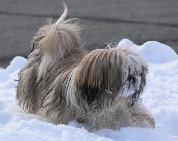 Shih tzus require regular brushing to keep their coats healthy and clean.