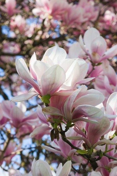 Magnolia Tree Removal Garden Guides