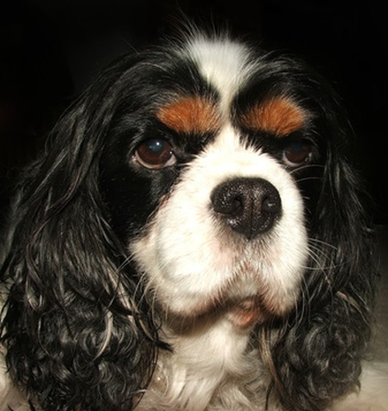 This tricolor Cavalier displays the large lustrous eyes and plentiful ear feathering called for in the breed standard.