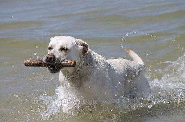 Labrador retrievers are bred for working in water and generally love swimming.
