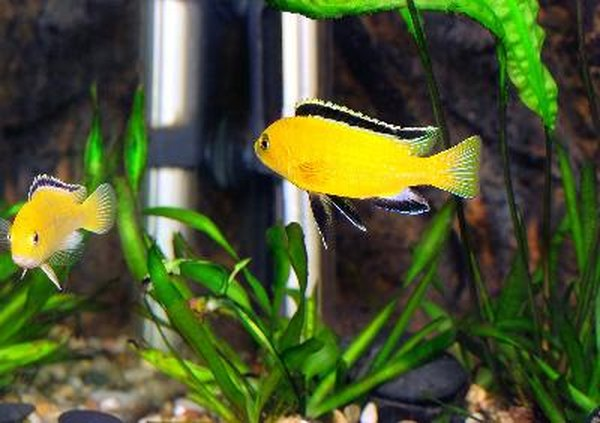 What To Add To A Cichlid Aquarium To Make It More Reeflike Pets