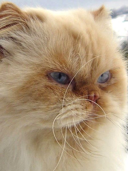 How Much Is A Blue Persian Cat