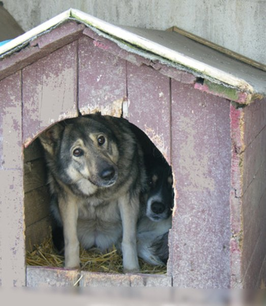 Two dogs huddle together in a doghouse. Without insulation to hold body heat, a doghouse offers little comfort.