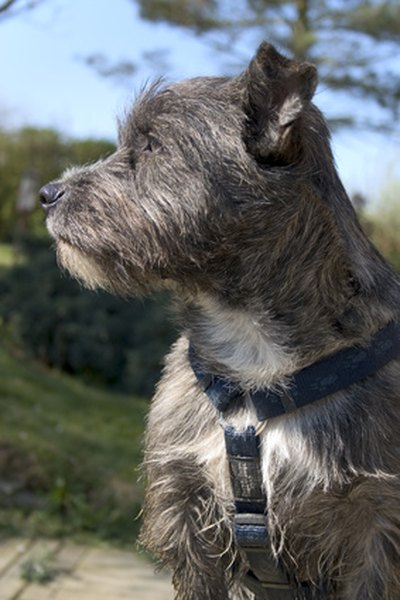 The cairn terrier's origins are in the Scottish Highlands.
