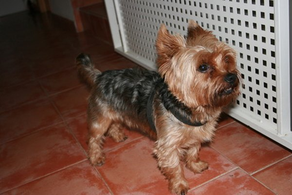 How To Care For Yorkie Hair Pets