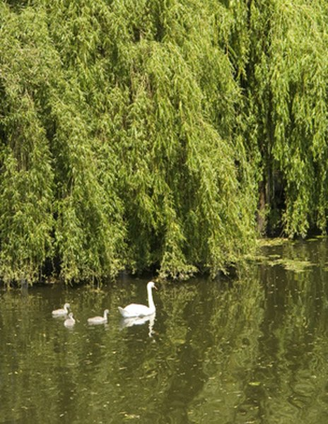 What Is The Meaning Of The Willow Tree Garden Guides