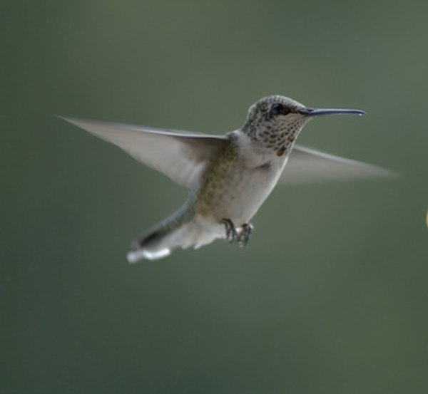 Hummingbirds can hover.