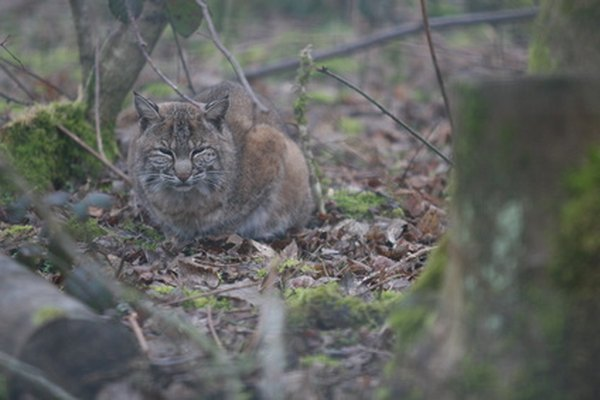 If seen at all, bobcats are more likely to be spotted at twilight or night.