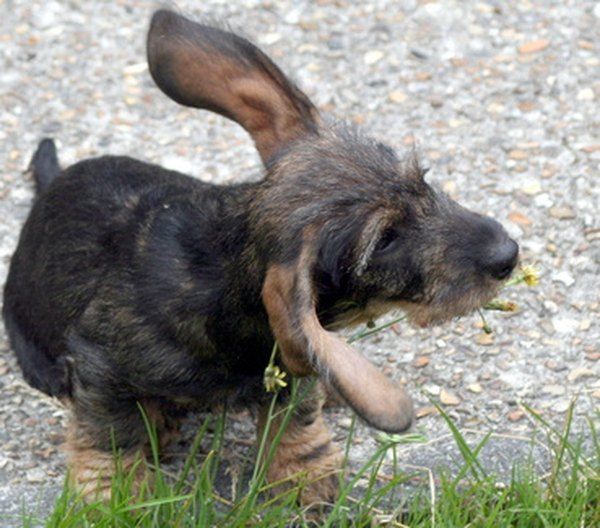 Dogs with floppy ears are prone to ear infections.