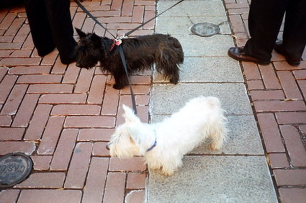 Caring For A Wheaten Scottish Terrier Pets
