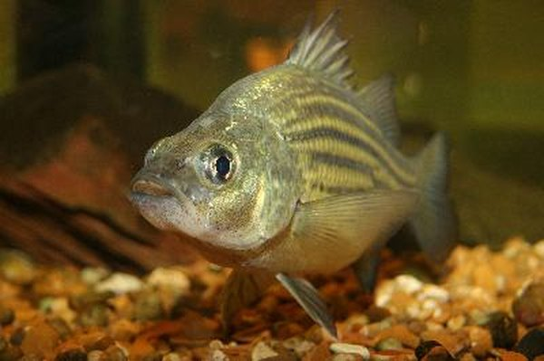 How often should you change aquarium water pets for Bluegill fish tank