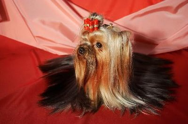 Yorkshire terriers typically weigh only 7 lbs when fully grown.