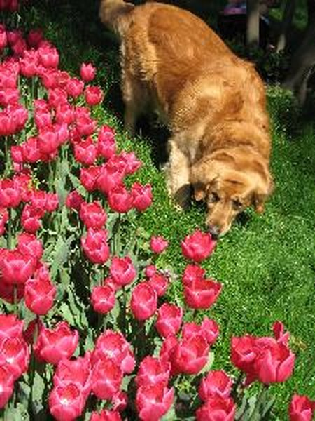 Many popular flowers and garden plants like tulips are toxic to dogs.