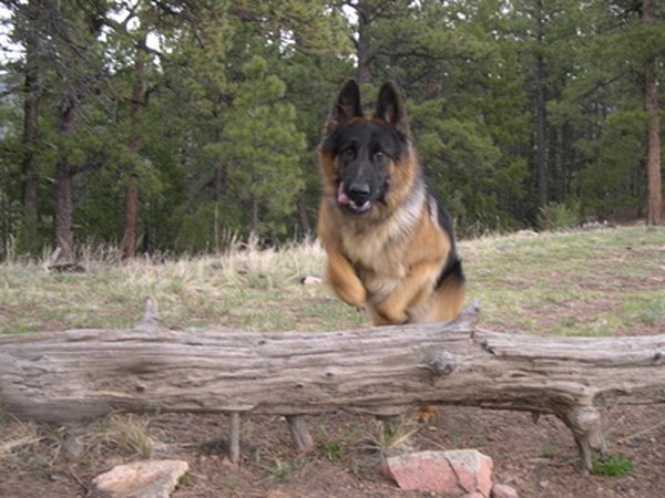 German shepherd dogs are useful for a wide range of law enforcement work.