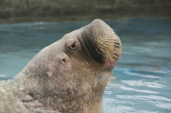 Walruses are predominately found in the Arctic.