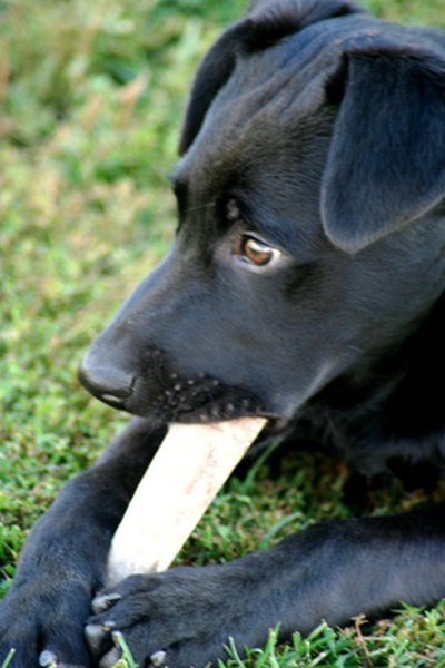 Puppies particularly need safe objects to chew on during teething. Enjoyment of chewing continues in adult dogs throughout life.