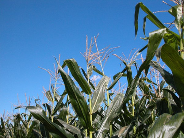 Wind carries pollen from one corn plant to the next.