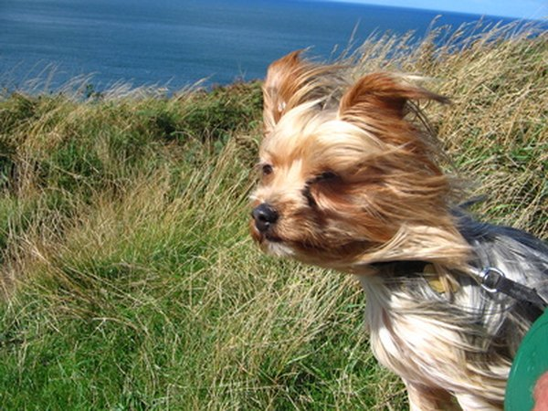 How To Calm A Hyperactive Yorkie Pets