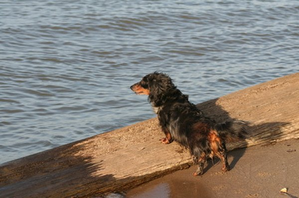 Long-haried Dachshund