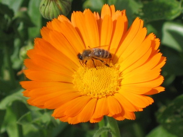 While the bee feeds on the flower pollen sticks to its legs and gets carried to the next flower.