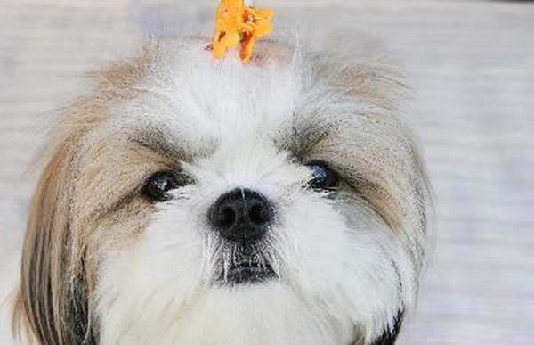 Liver Disease In A Shih Tzu Pets