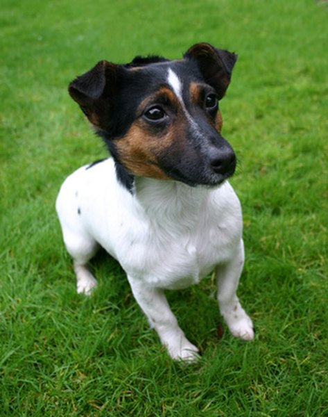 Jack Russell terriers are energetic little dogs, suitable for active families.
