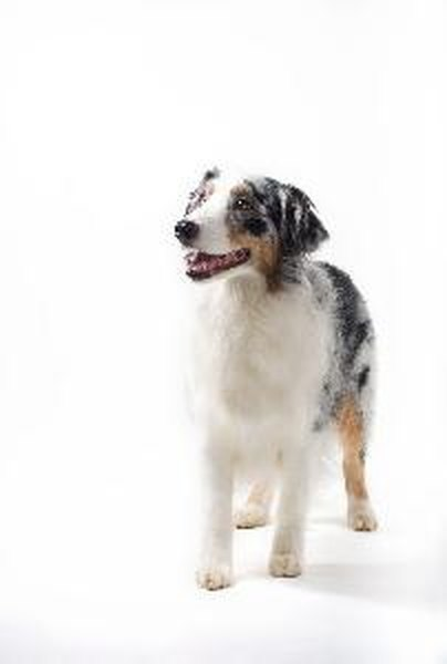 Australian shepherds are often called Aussies.