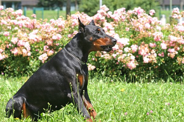 The ears on a Doberman may or may not be cropped.