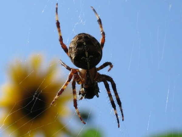Notice the large, round abdomen on this orb weaver.