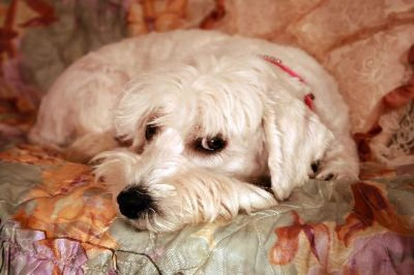 Minimize dog urine damage to your furniture with effective cleaning measures.