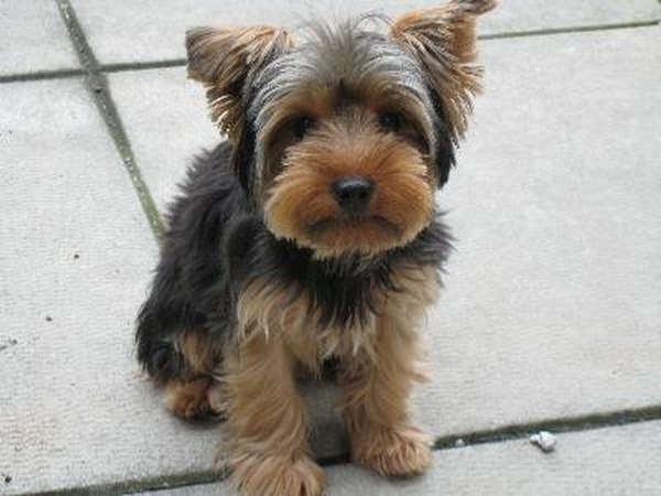 Adult sale terrier yorkshire apologise