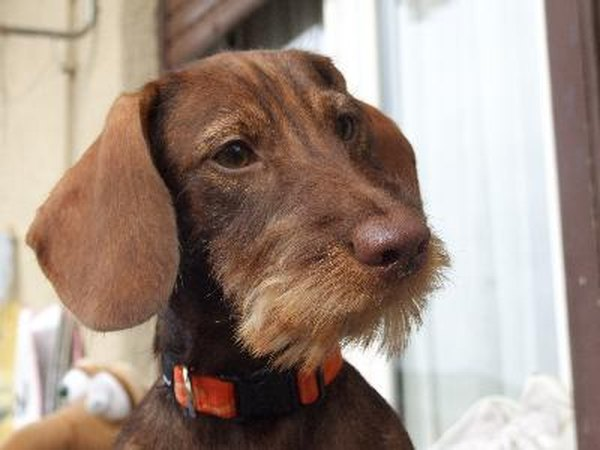 History of the Wire Hair Dachshund - Pets