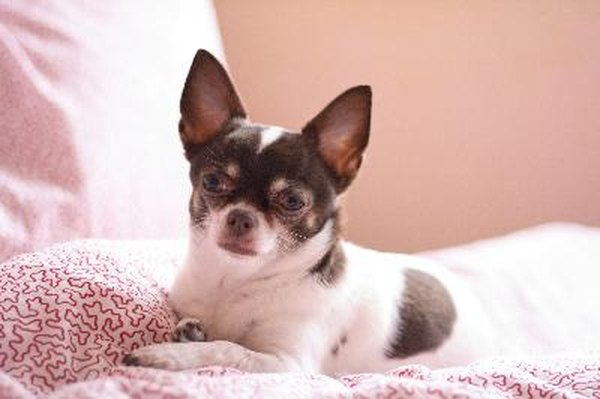 With few grooming requirements, the Chihuahua is a low-maintenance breed.