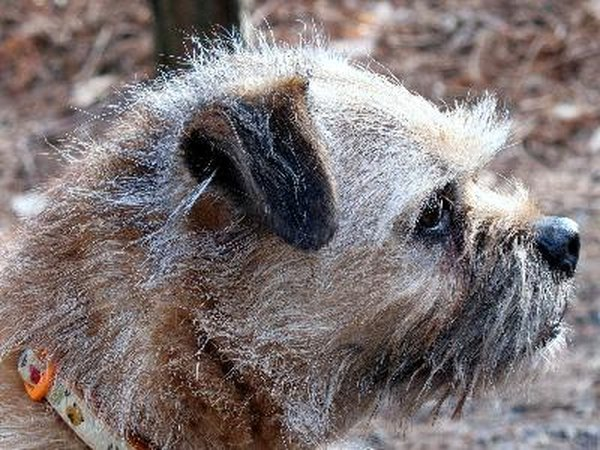 This border terrier's fur needs grooming since the dead fur is puffing out.