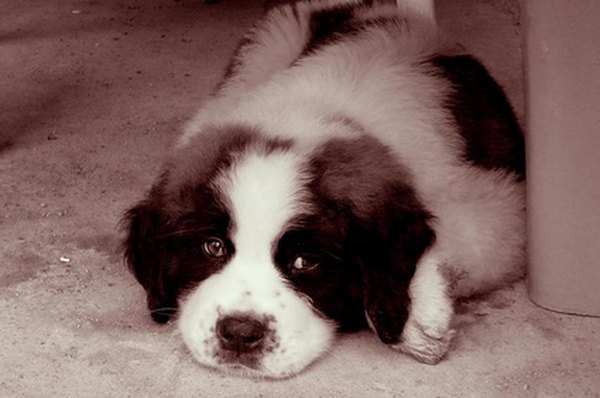 This St. Bernard puppy will grow to around 180 pounds and will require frequent grooming throughout his life.