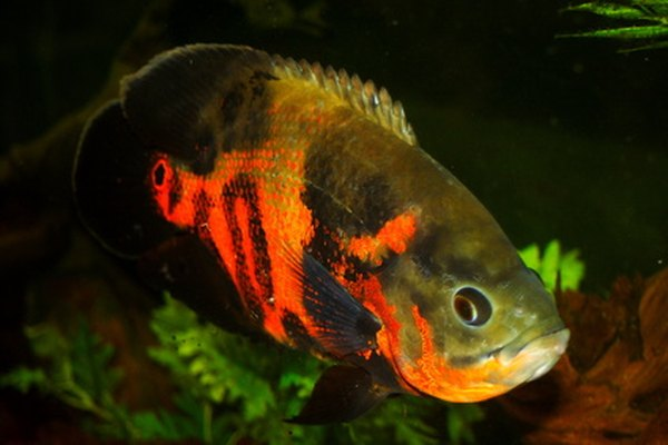 Stop Tiger Oscar Fighting Other Fish 3821 on oscar fish tank size