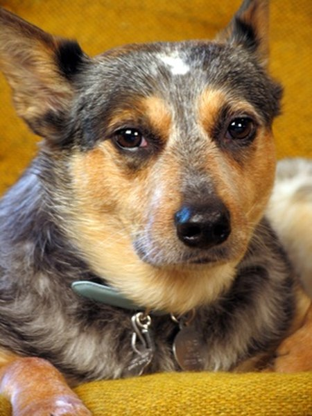 Owners of Australian cattle dogs must be prepared to provide ample exercise.