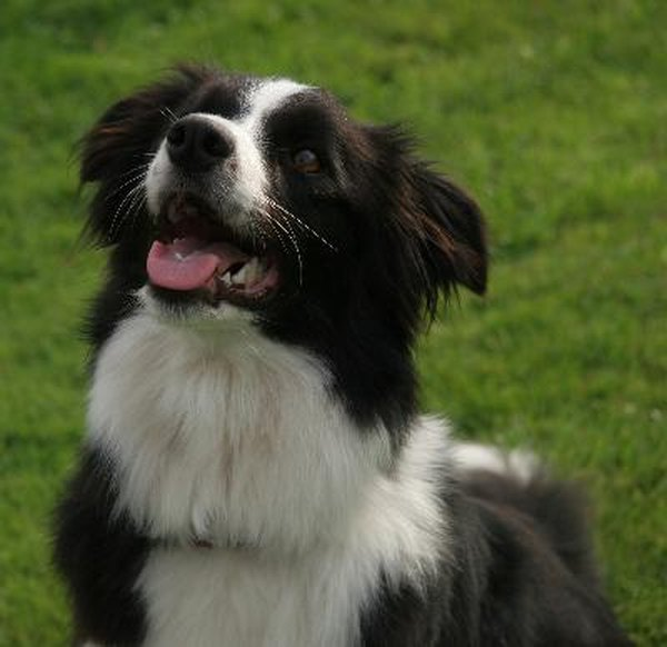 Border collies can be perfect for the right person.