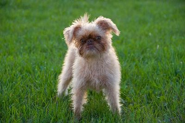 Brussels griffons are toy-size dogs, best suited to living indoors.