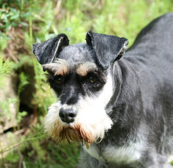 Schnauzers come in three sizes; their grooming requirements are all the same.