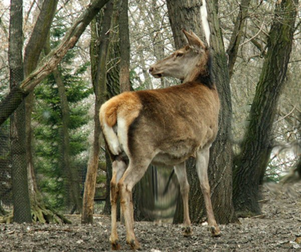 The deer is a herbivore that survives by eating plant life.