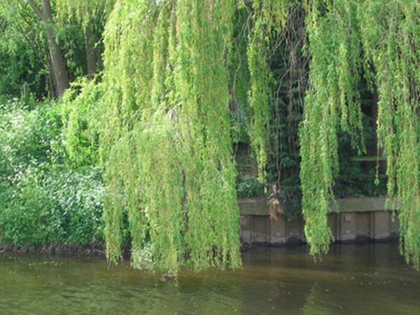 The weeping willow's downward branches give it the appearance of weeping.