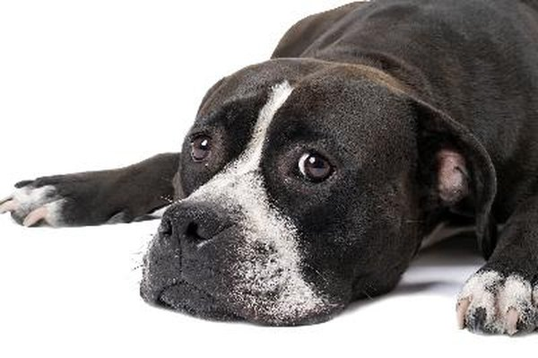 The American Staffordshire terrier is loyal to his owners.