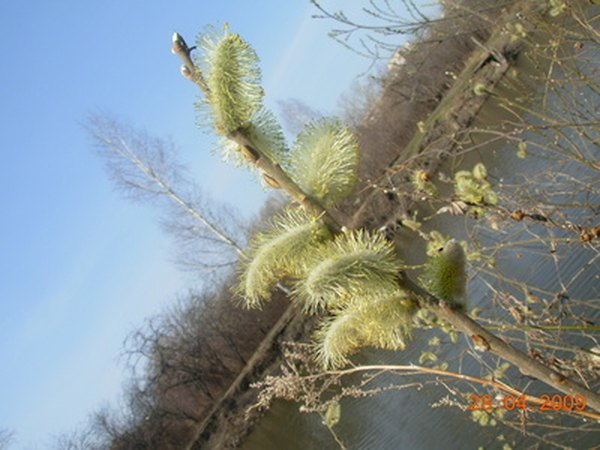 Pussy willow shrubs need to be trimmed because they grow rapidly.