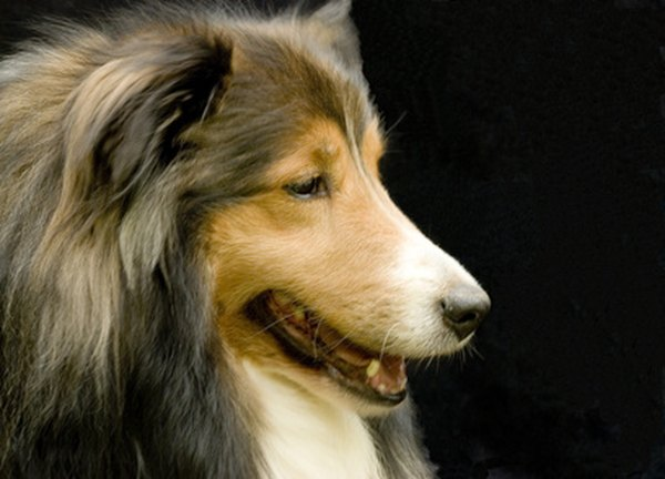 A sheltie's face should be sleek and refined.