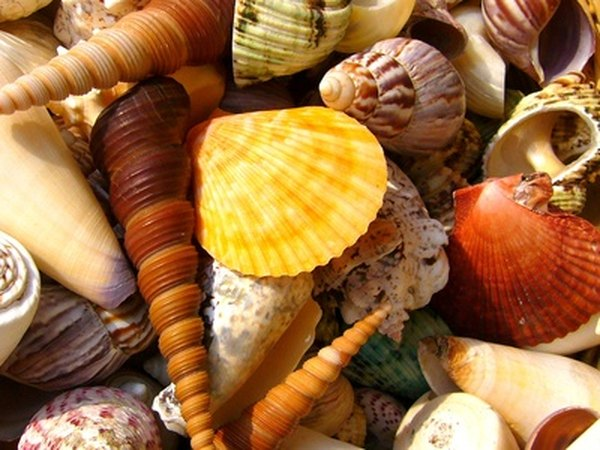 Many varieties of shells are regularly found on the shores of Sanibel Island.