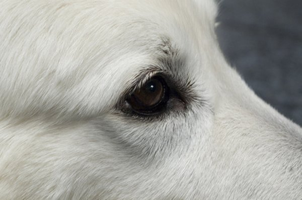 Diamond Eye helps restore light fur to its original color.