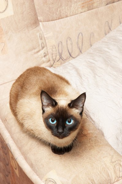 are tonkinese cats more loving than siamese cats pets